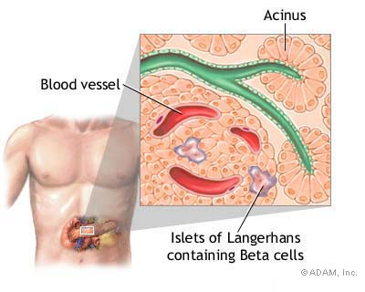 Islets of Langerhans and Beta Cells in the Pancreas
